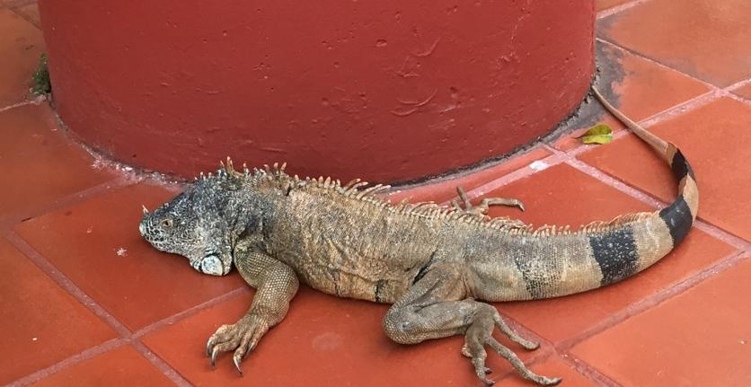 Ella's iguana